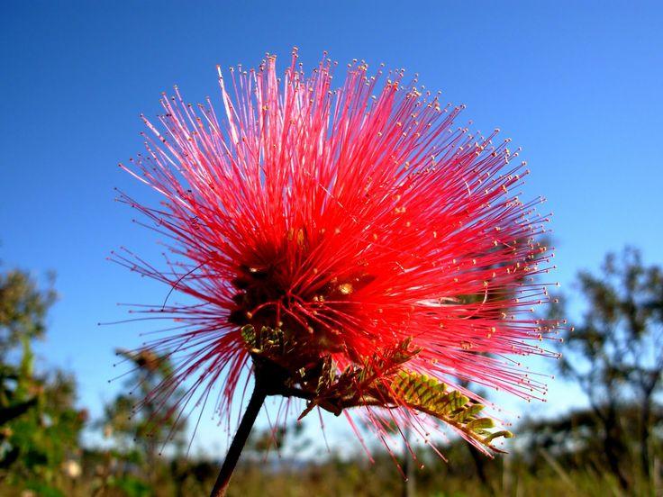 Por que este site tem o nome da Caliandra uma for do Cerrado? para reverenciar a flor simbolo do Cerrado.