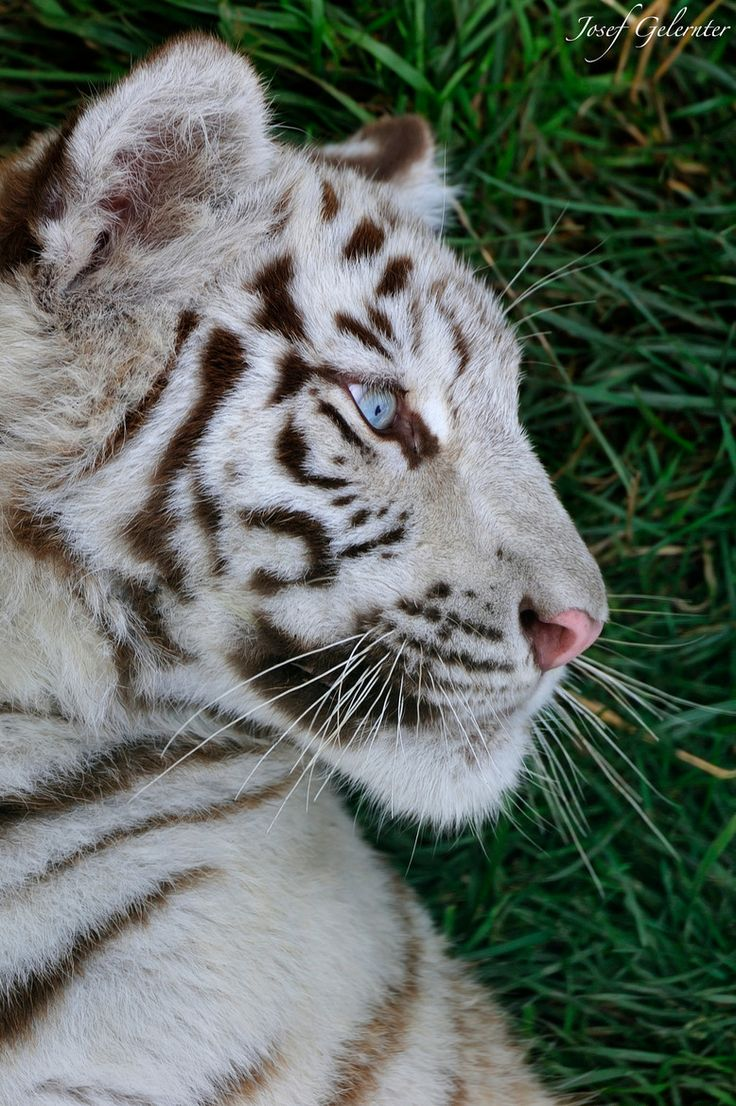 are light tigers endangered