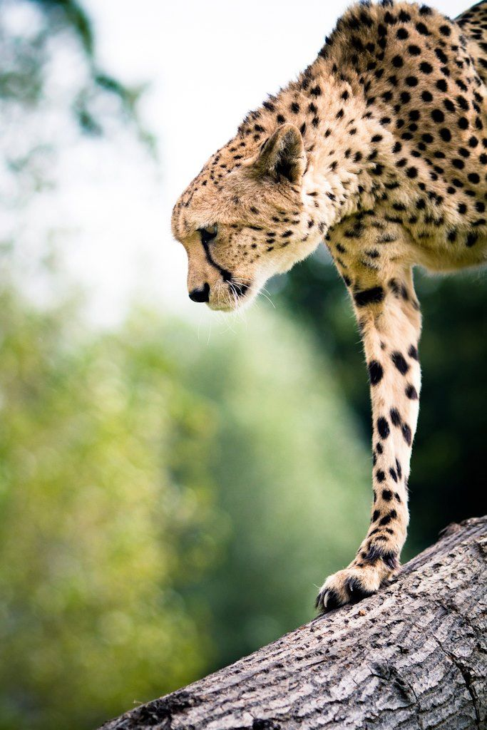 Cheetah..my fav animal....fierce powerful lean and strong and super fast and beautiful