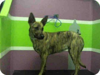 Houston, TX - German Shepherd Dog Mix. Meet A1435198, a dog for adoption. http://www.adoptapet.com/pet/17292409-houston-texas-german-shepherd-dog-mix