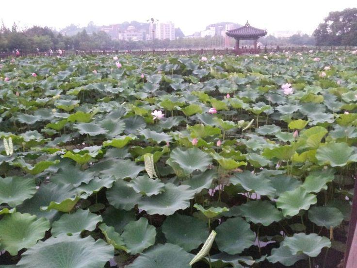 전주 덕진 공원 2만평의 연꽃들