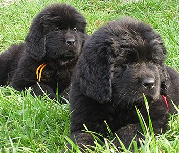 BearNMind Newfoundlands Landseer dog, Big dogs, Newfoundland