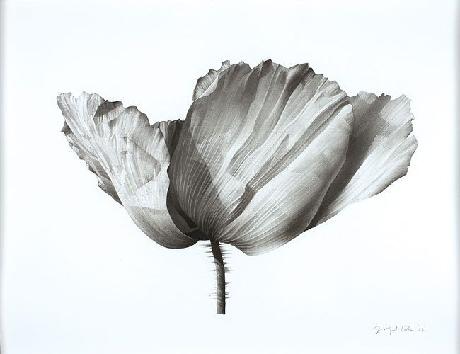 © Jonathan Delafield Cook ~ Poppy I ~ 2012 charcoal on paper at Olsen Irwin Gallery Sydney Australia