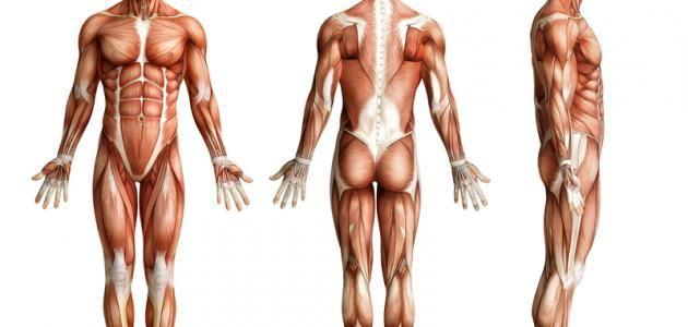 كم عدد عضلات جسم الإنسان Greek Statue Statue Targaryen