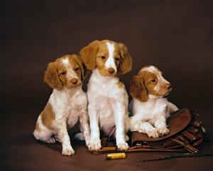 Brittany Spaniel Puppies