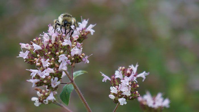 Bee on oregano (Photo by Carol Pope)