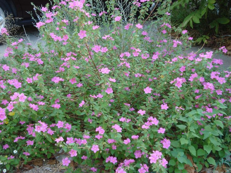 Texas rock rose (pavonia lasiopetala)... rolling with the punches. native, tough, full sun.