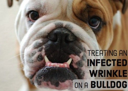 How To Treat A Bulldog S Infected Wrinkle English Bulldog Care