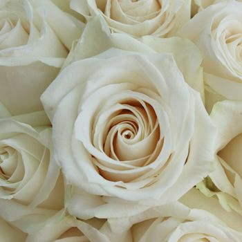 Vendela Ivory Rose. #1 selling cream rose, large head opens into a cup-shape, well-defined, slightly curled pink edges. Hint of pink on petal edges. Champagne ivory.
