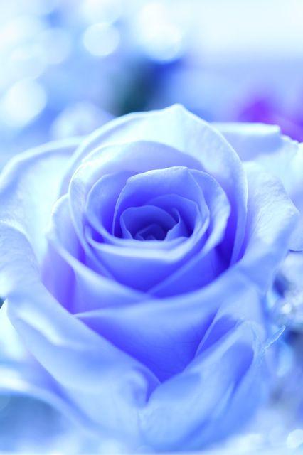 「青いバラ」 : pot-pourri *写真館*