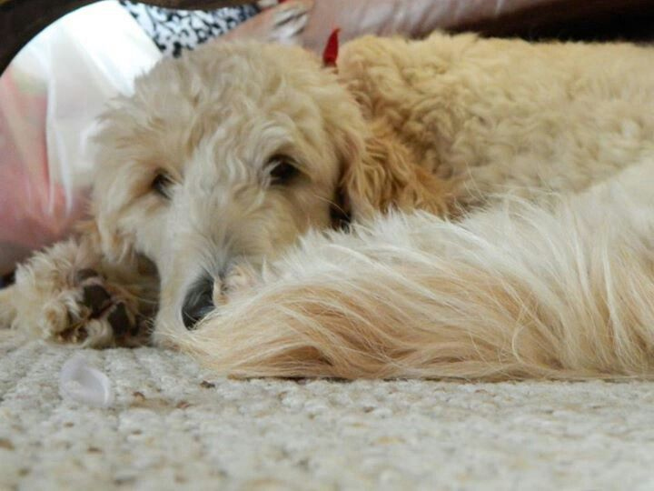 My beautiful Golden-Doodle :) love this boy!!