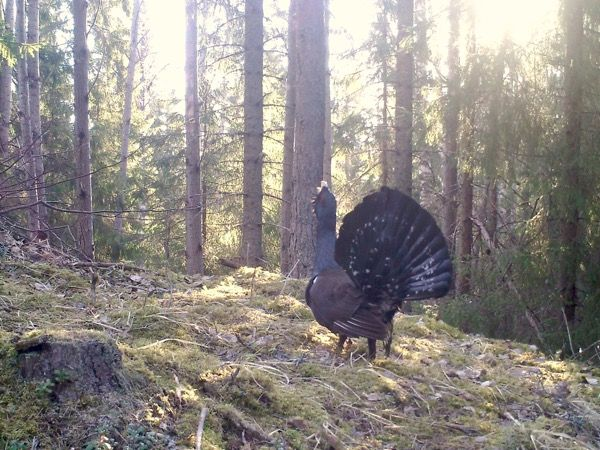 Metson laulu soitimella, riistakamerakuva / A singing capercaillie, a trail camera picture
