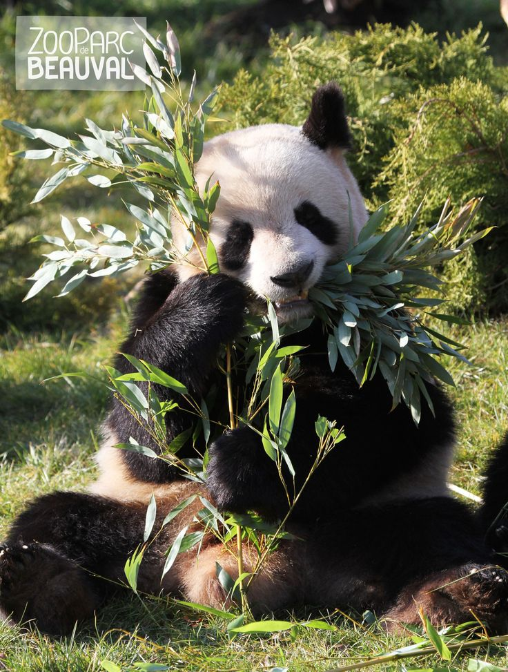 Yuan Zi, le #panda géant mâle de Beauval