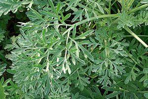 Traiter et enrichir le jardin avec les plantes : 8 remèdes naturels - L'absinthe contre la rouille