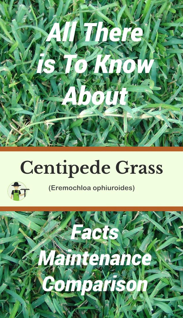 Centipede Grass Facts Maintenance Comparison Centipede Grass Warm Season Grass Grass