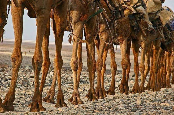 Patas de camellos. | Fotos de Animales. | Camel, Hippie ...
