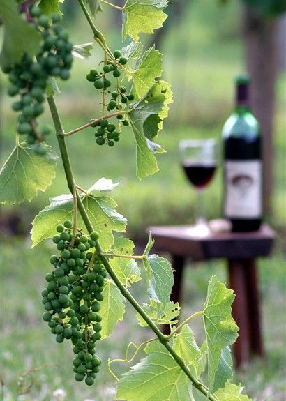 Wine country time to travel pinterest vineyard homemade and green grapes - Table grapes vs wine grapes ...