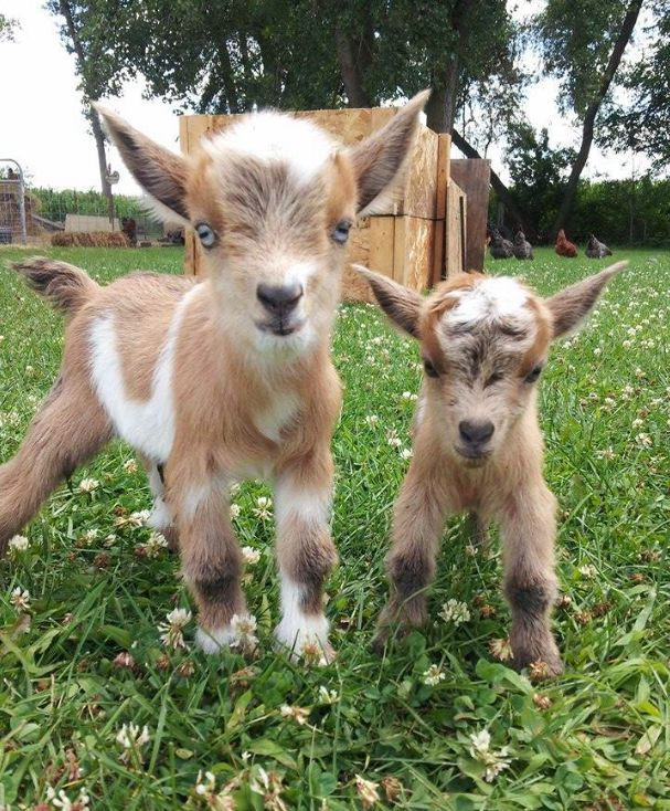 Why Nigerian Dwarf goats are the best choice for your small homestead (besides the fact that they're adorable!), here: http://www.attainable-sustainable.net/nigerian-goats/