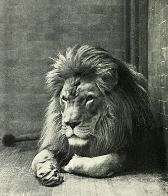 Extinct animals - Barbary lion the largest of the lion species. Was used in gladiator fights  and were owned by royal and elite families.