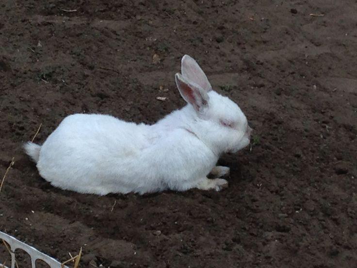 Found a nice cool spot Stewie NZ white rabbit