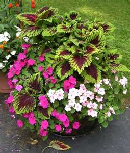 Planter with impatiens and Kong coleus.