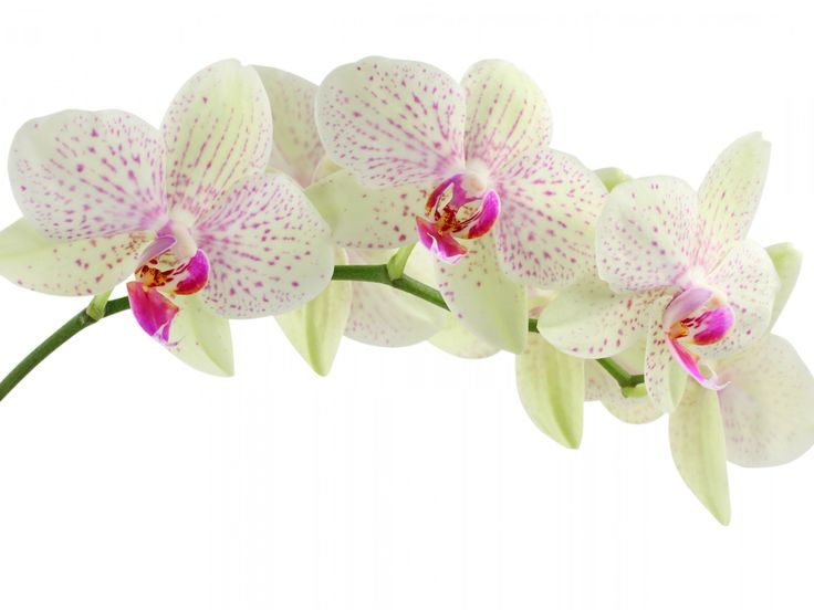 knumathise: Red Orchid Wallpaper Images