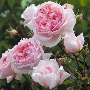 Роза The Wedgwood Rose David Austin, 5 зона (Z1-3), 150х150, цветение непрерывное. Крупные цветы с тонкими лепестками нежно-розового цвета и фруктовым ароматом создают эффект старинной розы. Пышный куст с темно-зеленой глянцевой листвой и очень высокой устойчивостью к болезням. Рекомендуется к выращиванию в качестве плетистой розы