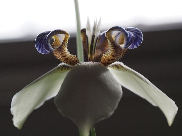 Mijn walking Iris bloeit vandaag, ik heb daar vanochtend een foto van geplaatst. Laat het toeval nou willen dat dit meisje net een nieuw Macro-objectief heeft aangeschaft, én de zon prachtig o