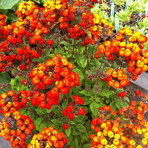 hottie calceolaria 'kentish hero'. Saw this plant on a home garden tour this weekend and didn't know what it is and now here it is on pinstagram. Straight to my wish list!