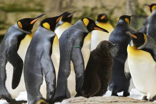 Wien - Tiergarten Schönbrunn: Kugelrundes flauschiges Pinguin Küken