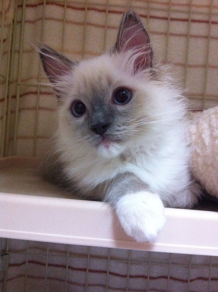 Ragdoll Blue Point Mitted ♂
