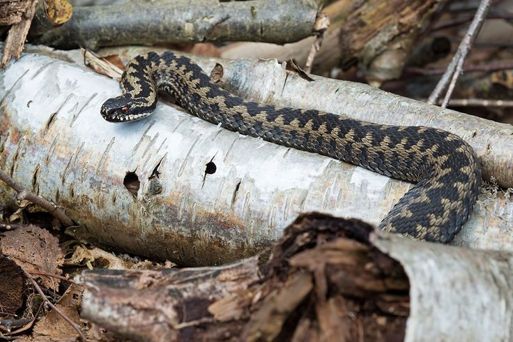17 Best images about Reptiles and Amphibians on Pinterest ...  Tubercle Snake
