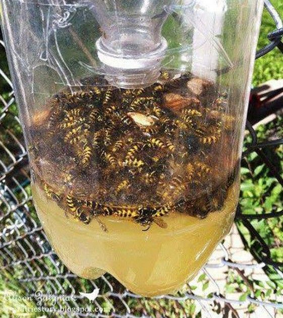 DIY Bee and Wasp Catcher! Soda, sugar, beer, vinegar, sweets, and a little cooking spray!