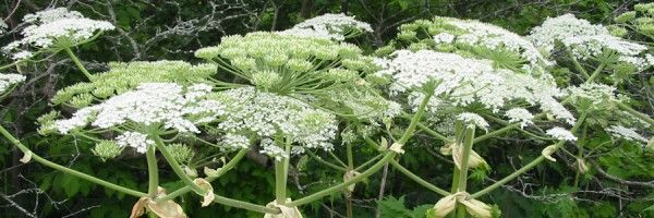 This is a very dangerous/toxic plant, flowers look like Queen Ann's lace.  Do not touch with bare hands.  It is called hogweed.  Beware if it gets in your yard.....it is very tall.  Read about it.