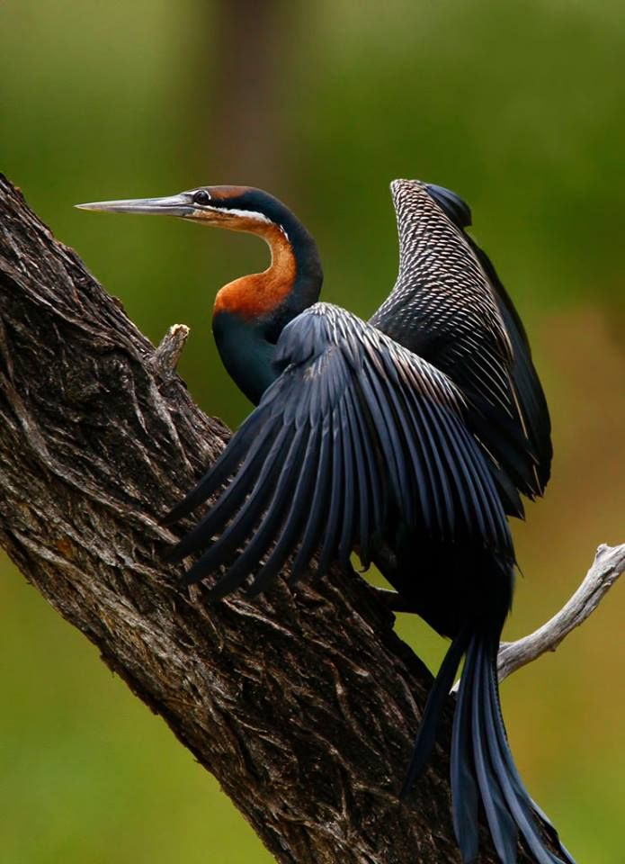 African Striped Darter : 1000+ images about Animals: Birds on Pinterest Pretoria, Saddles and ...