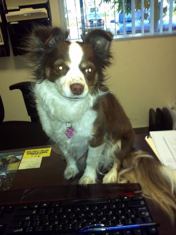 8 best lost my doggie promo code images on pinterest doggies dogs lost dog papillon in woodland hills ca lost my doggie solutioingenieria Gallery