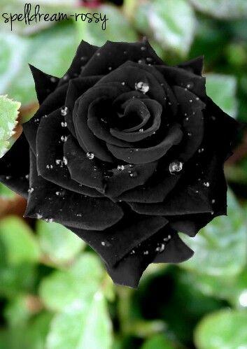 hermosa rosa negra
