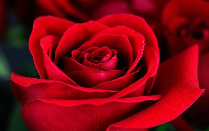 Download wallpapers red rose, rosebud, red flower, rose, drops