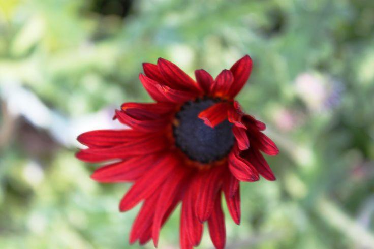 Flor en el jardín, Pucón, Región de La Araucanía, Chile