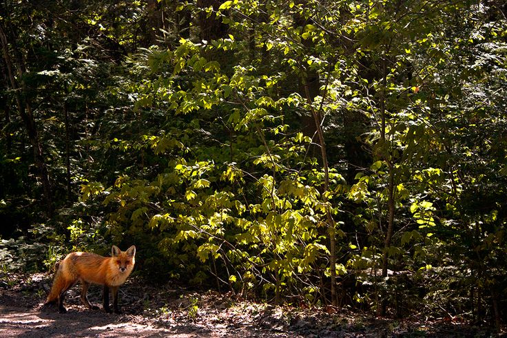 We saw this fox so many times that day. Algonquin Park, Ontario, Canada Photography by Esther Sanchez