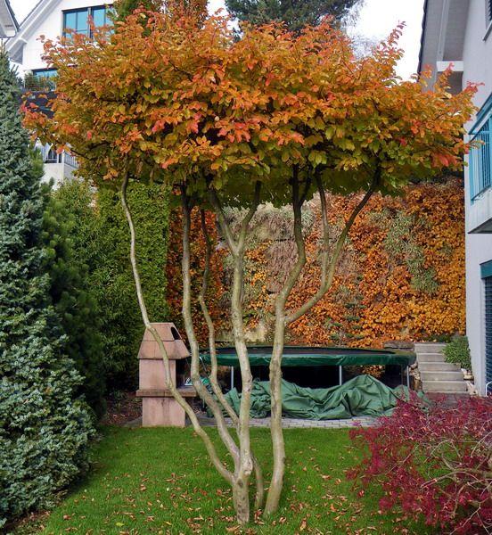 Parrotia persica Persian Ironwood topiary