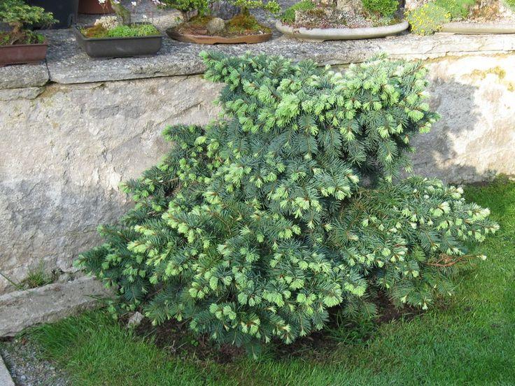 ZAHRADNICTVÍ TŘEBÍČ | Okrasné rostliny | Jehličnaté dřeviny | Pseudotsuga menziesii Fletcheri