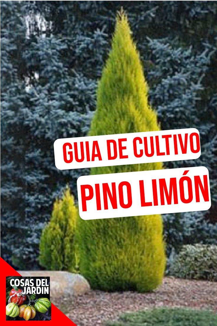 Cuidado del pino lim n c mo cuidar el pino lim n en for Variedades de pinos para jardin