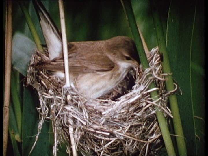 Reed Warbler building a nest VIDEO... Dieses hochwertige Rights Managed HD-Stock Video über Teichrohrsänger / Kuckuck / Kuckucksei / Nest / Deutschland kann online lizenziert werden und steht bereit zum Download.
