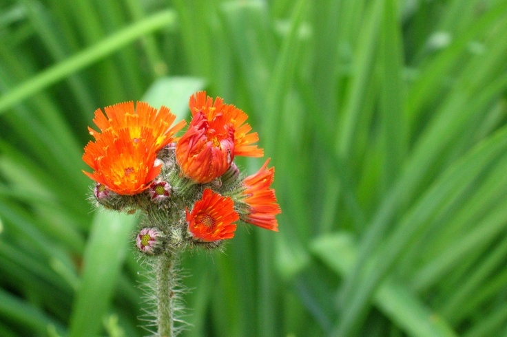 Orange Hawkweed (Hieracium aurantiacum, German: Orangerotes Habichtskraut). Location: Ravensburg,  Upper Swabia, Southern Germany.