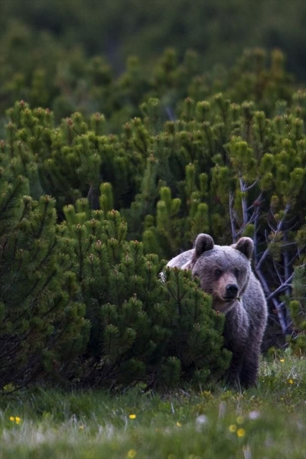 Wild European Brown bear (Ursus arctos), solitary female peering from behind Dwarf pines (Pinus mugo) in mountain meadow. Western Tatras, Slovakia.- Dump A Day Amazing Wild Animal Pictures