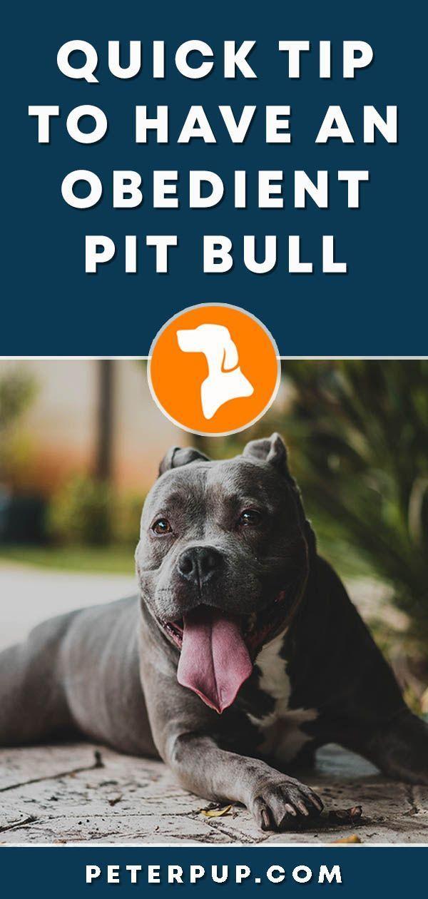 Dog Training Commands Dogtrainingcommands Pitbulls Dog