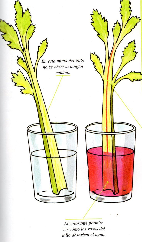 En este sencillo experimentovemos como la planta absorbe el agua y lo distribuye por todas sus ramificaciones, y lo más importante lo podremos apreciar como si la planta fuera transparente. Mater... #Plantasdecoracion