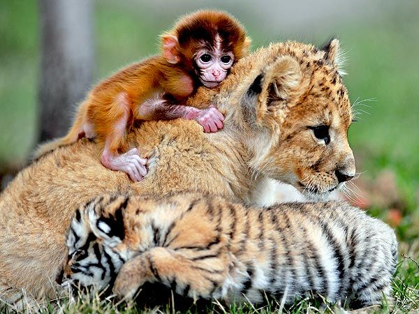 Baby Monkey, Lion and Tiger in China: Proof that we all can get along. I really don't like monkeys but this one is cute!