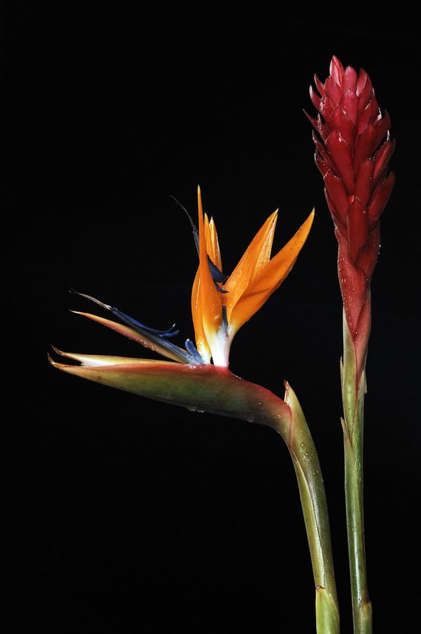 Bird of Paradise - I had one and just when it started blooming a freak freeze killed it :(